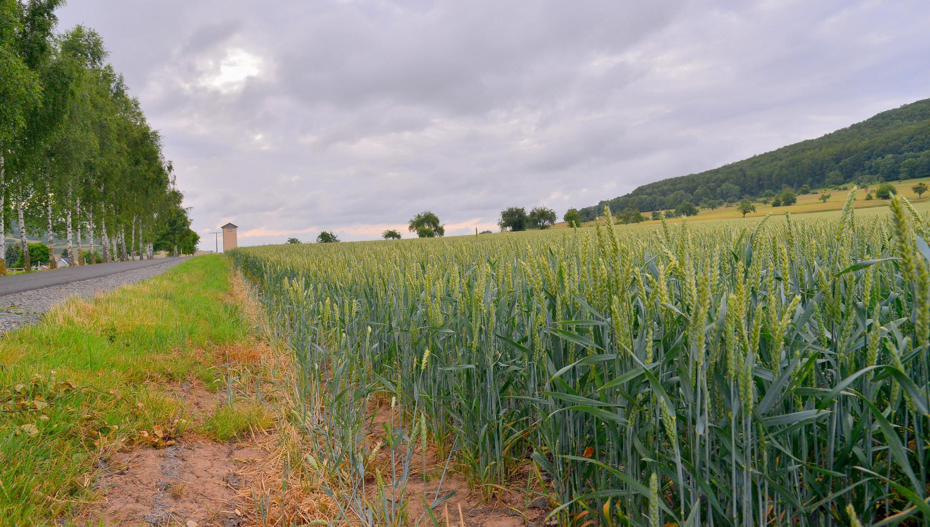 Weizenfeld heute morgen (campo de trigo esta mañana)