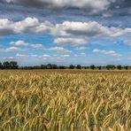 Weizenfeld im Juni