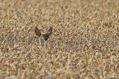 Weizenfeld mit Ohren