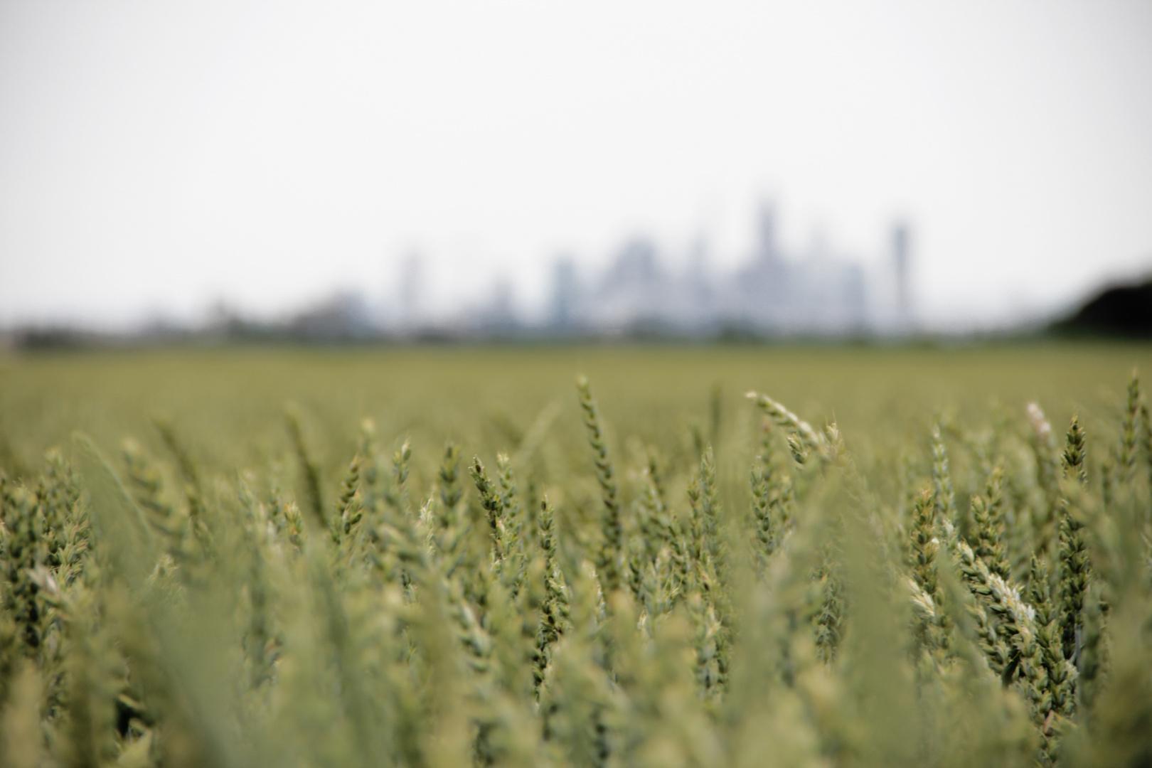 Weizenfeld vor der Frankfurter Skyline