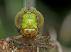 Welch ein Erlebnis... - Une libellule après la métamorphose...