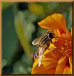 Welche Biene oder Fliege ?