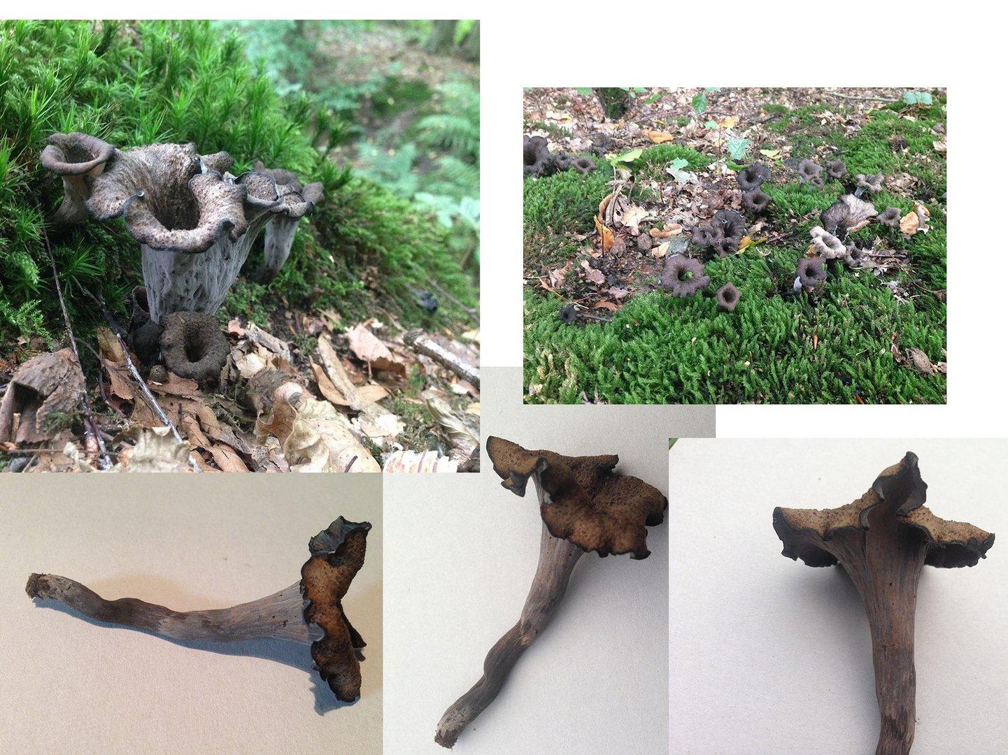 Welcher Pilz ist das? Herbsttrompeten?