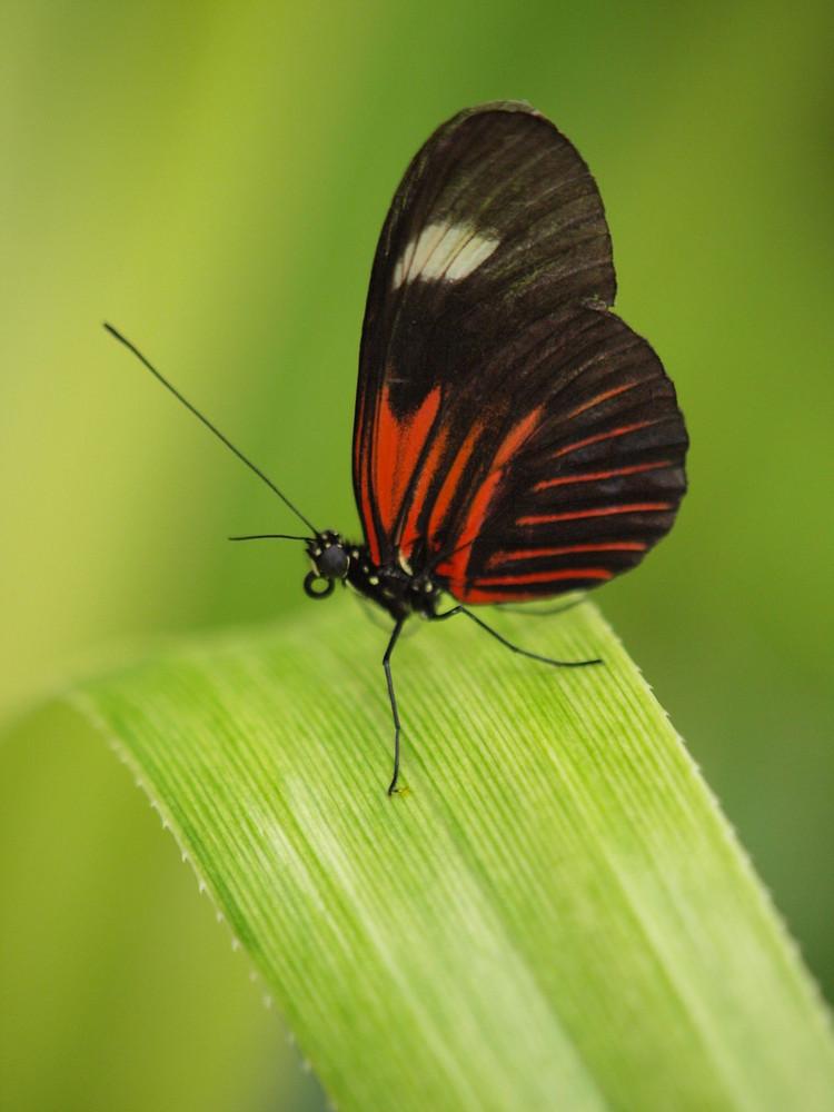Welcher Schmetterling?