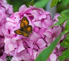 Welcher Schmetterling ?