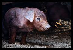 welches Schweinderl hättens denn gern?