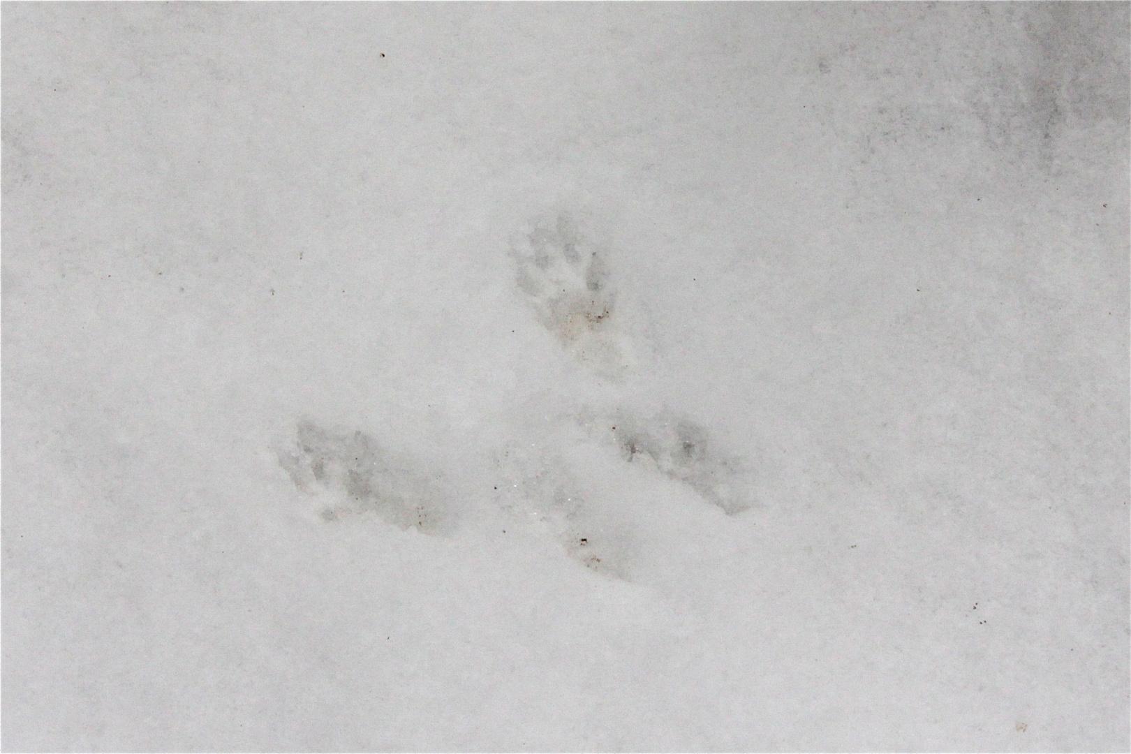 Welches Tier ist der Verursacher dieser Spur?
