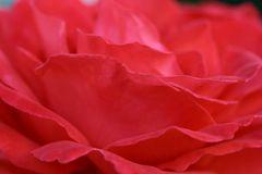 Wellen der Rose