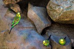 Wellensittich Familie auf Abstand im TIerpark Worms