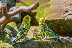 Wellensittiche in der Australien Anlage im Wormser Zoo