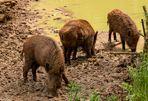 Wellnessbereich der Wildschweine