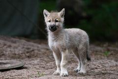 Welpe im Wolfcenter Dörverden