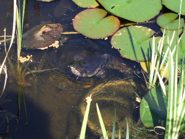 Geliebte Wels im Teich Foto & Bild | tiere, zoo, wildpark & falknerei, zoo @MG_99