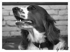 Welsh Springer Spaniel Kira
