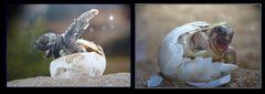 Welt der Wunder  Gasometer Oberhausen  -  Karettschildkröte - und Landschildkröte - Solvin Zanci