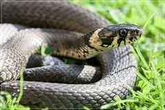 Weltschlangentag ist heute ..