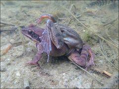 Weltweiter Amphibien-Rückgang aufgeklärt !