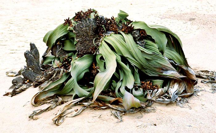Welwitschia, die Rarität in der Wüste