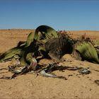 """""""Welwitschia Mirabilis"""""""