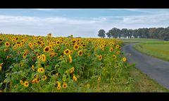 ...wenn 600 Sonnenblumen eine Straße überqueren wollen...