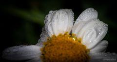 Wenn Blumen weinen, werden Felsen weich.