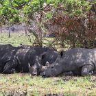Wenn Breitmaulnashörner mit einander schlafen