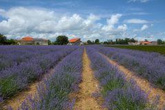 wenn der Lavendel blüht