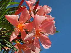 wenn der Oleander blüht....