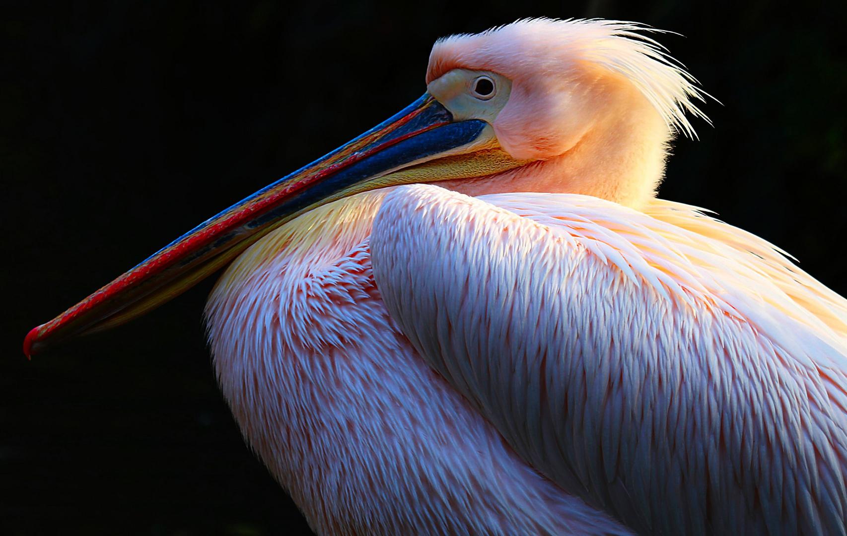 Wenn der Pelikan ?