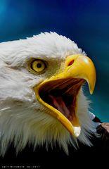 Wenn der Weißkopfseeadler ruft
