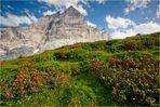 Wenn die Alpen blühen