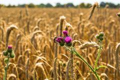 Wenn die Kornfelder fallen