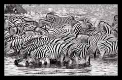 Wenn die Zebras das Wasserloch besetzen...