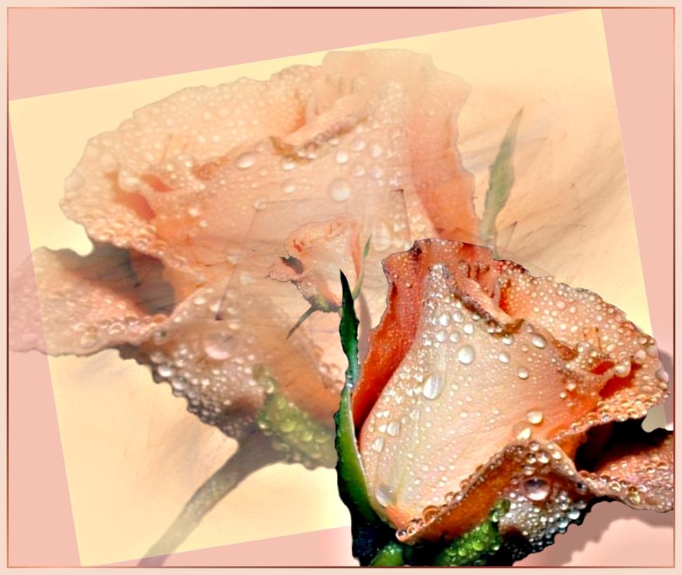 Wenn eine Rose...