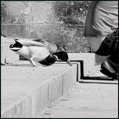Wenn Enten pfeifen könnten...