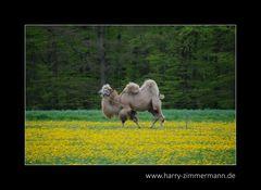 wenn es dem Kamel....