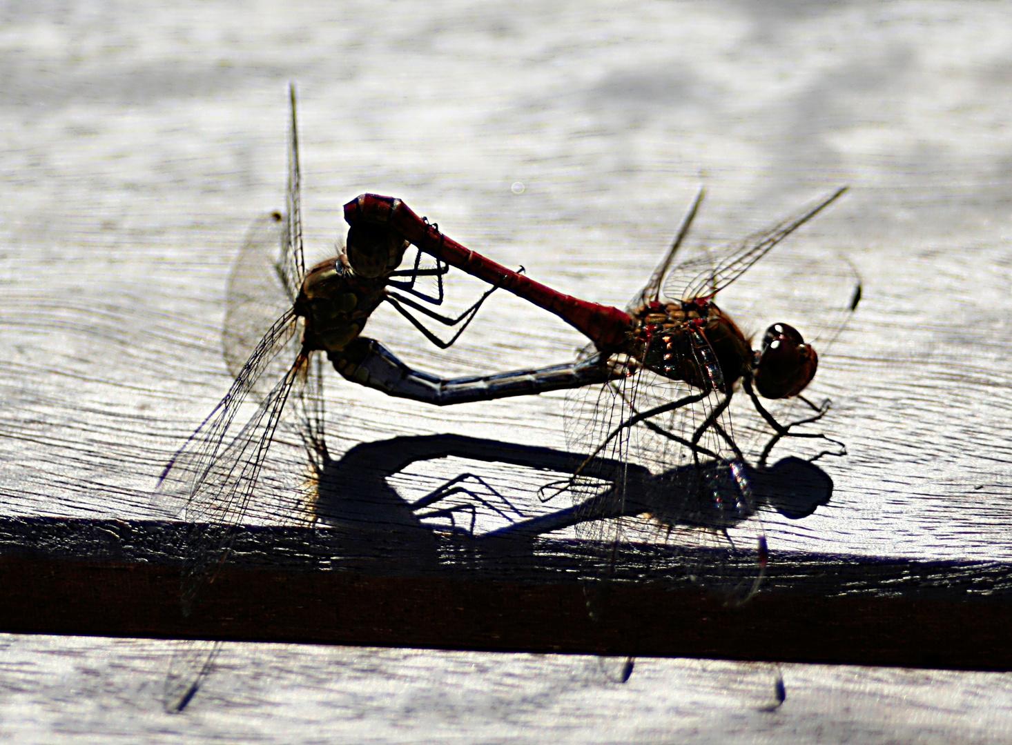 Wenn Libellen Liebe machen