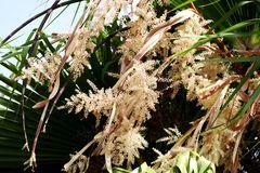 Wenn Palmen (blühen