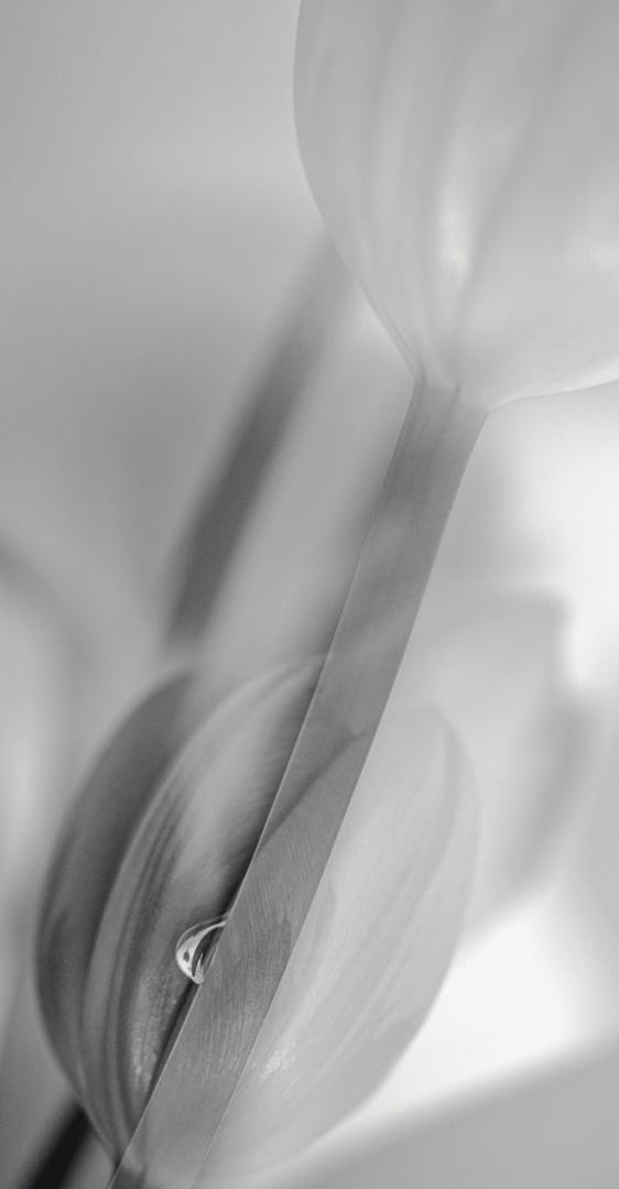 Wenn Tulpen......