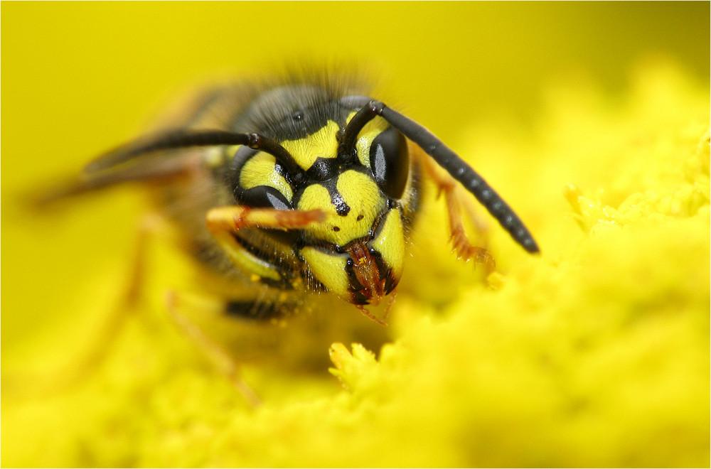 Wenn Wespen winken...