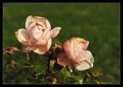 Wenn wir mehr Rosen wollen....