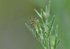 Wer bin ich?   Eine Larve der Vierpunktigen Sichelschrecke Phaneroptera nana