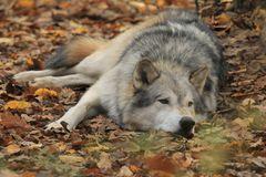 Wer fürchtet sich vorm bösen Wolf ?