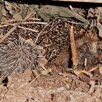 Wer hätte das gedacht. Ein Igel-Nest mit Jungen im Komposthaufen.