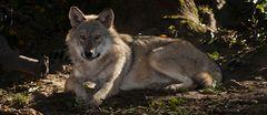 Wer hat Angst vom bösen Wolf?