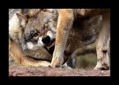 Wer hat angst vor'm bösen Wolf?