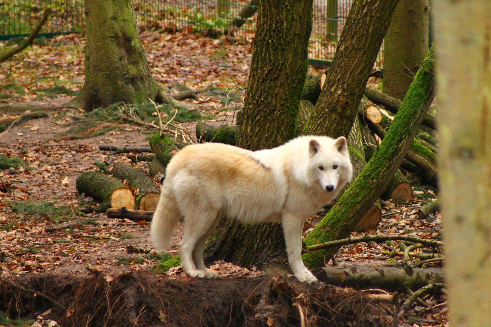 Wer hat Angst vorm wundervollen Wolf zum II.?