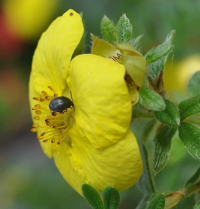 Wer ist dieser Käfer ?