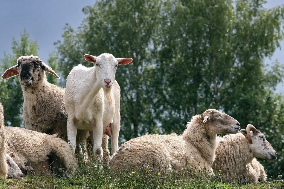 Wer ist hier eine Ziege??? :-)