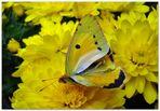 ...wer kennt diese Schmetterlingsart ?